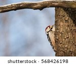 Small photo of White-backed woodpecker male on tree