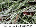 Hoar Frosted Grass  Weeds And...