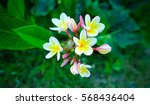 plumeria vintage tone on the... | Shutterstock . vector #568436404