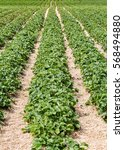 rows of strawberries plants in... | Shutterstock . vector #568494880