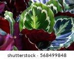 calathea roseopicta leafs | Shutterstock . vector #568499848