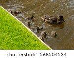 keukenhof park in the... | Shutterstock . vector #568504534