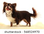 Stock photo chihuahua is waiting on the white background 568524970