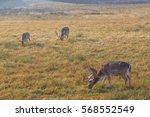 Three Beautiful Deer With Big...