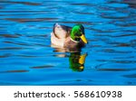 Male Mallard Duck On Water