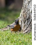 Small photo of American Robin looking for bugs