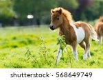 Cute Shetland Foal Walking...