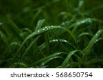 fresh green grass with dew... | Shutterstock . vector #568650754
