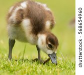 Egyptian Geese Goslings On The...