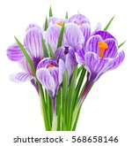 violet crocus flowers bouquet...   Shutterstock . vector #568658146