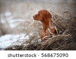 Beautiful Vizsla Dog  Portrait...