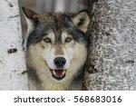 wolf | Shutterstock . vector #568683016