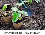 Strawberry Plants And Seedling...