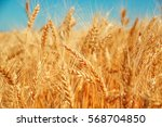 gold wheat field and blue sky.... | Shutterstock . vector #568704850