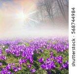 crocuses   delicate spring... | Shutterstock . vector #568744984