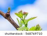 Young Green Tender Leaves Of...