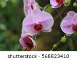 pink orchid   phaleanopsis | Shutterstock . vector #568823410