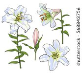 set of hand drawn white lily... | Shutterstock .eps vector #568843756