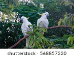 Two Sulphur Crested Cockatoos...