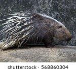 Porcupine. Crested Porcupine....