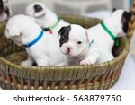 Stock photo baby french bulldog is sitting on the basket with friends 568879750
