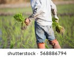 farmer planting rice sprout in... | Shutterstock . vector #568886794