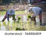 farmer planting rice sprout in... | Shutterstock . vector #568886809