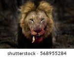 Male Lion Looking Mean  His...