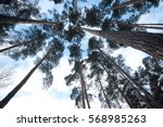 Looking Up In A Pine Tree...