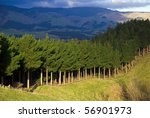 Pine Tree forest in New Zealand - stock photo