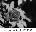 monochrome of rose flower in... | Shutterstock . vector #569029588