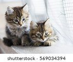 Stock photo beauty siberian puppy cat brown version 569034394