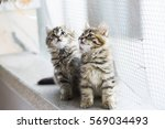 Stock photo beauty siberian puppy cat brown version 569034493