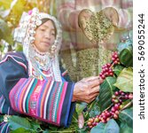Small photo of Double exposure of Akha hill picking arabica coffee berries with raw coffee after dry process.