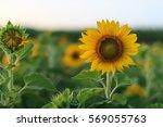 field of sunflowers . close up... | Shutterstock . vector #569055763