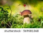 picking mushrooms and... | Shutterstock . vector #569081368
