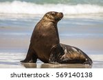 Australian Sea Lion On The...