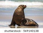 Australian Sea Lion On The...