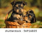 Stock photo yorkshire terrier puppy weeks plays in the garden 56916835