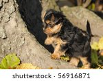 Stock photo yorkshire terrier puppy weeks plays in the garden 56916871