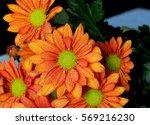 Chrysanthemum Flowers Orange...