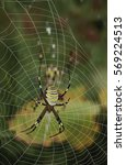 Striped Argiope Female Spider...