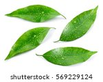 citrus leaves with drops... | Shutterstock . vector #569229124