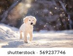 Stock photo golden retriever puppy outdoor on the snow in winter 569237746