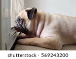 Small photo of Cute pug dog wait owner to come back home at the door