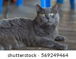 British Domestic Cat