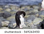 A Chinstrap Penguin Preens...