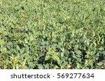 young canola field green...   Shutterstock . vector #569277634