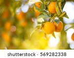 orange grove | Shutterstock . vector #569282338