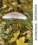 Small photo of Mushrooms on with latin name agaricus silvaticus in a forest glade